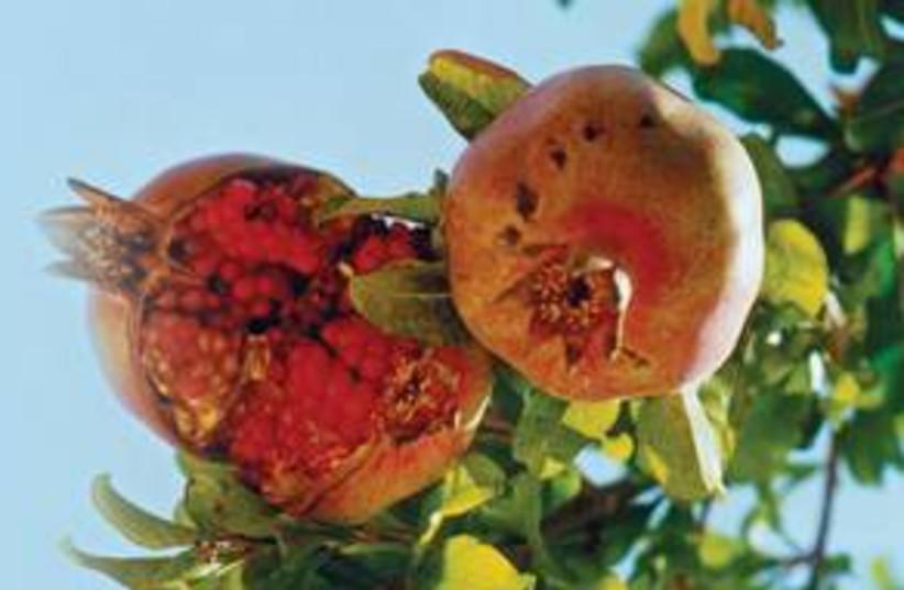 pomegrantes 311 (photo credit: Marc Israel Sellem)