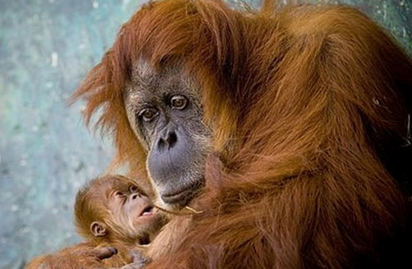 Rochale, a 41-year old Sumatran Orangutan