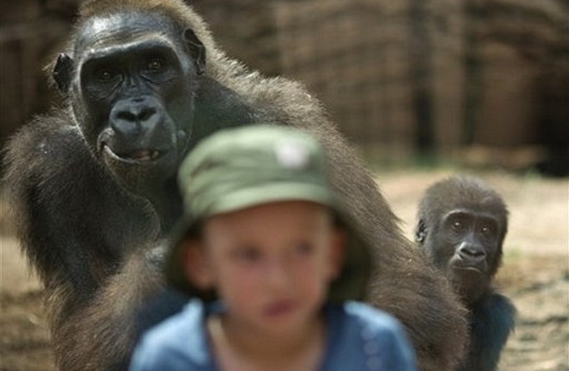 A Silver-Back female gorilla and her baby look at a child