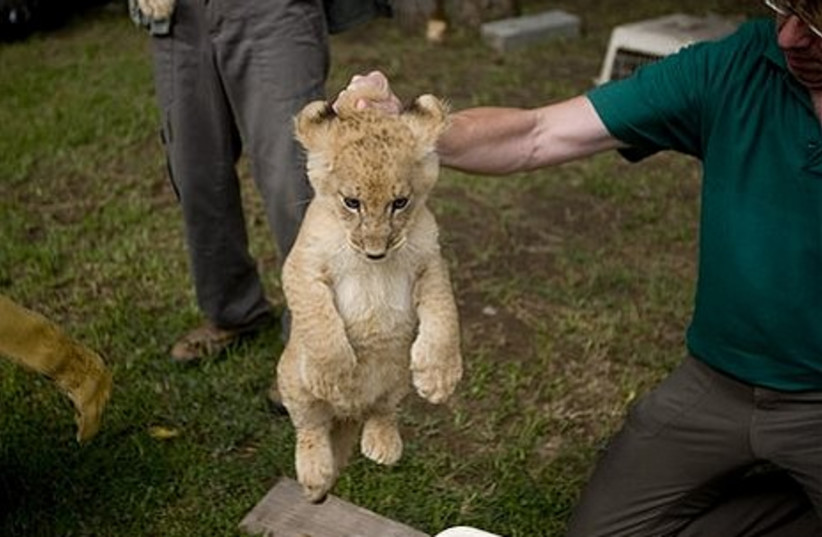 An eight-week-old male African lion cub