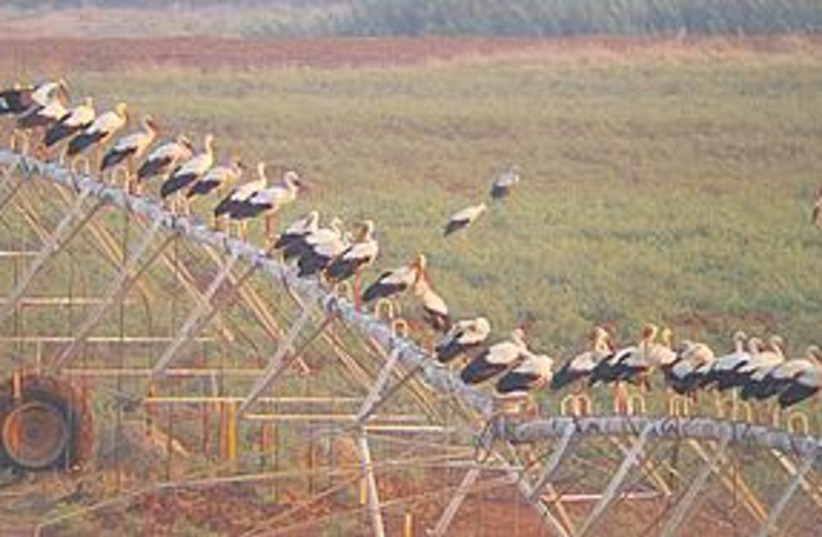 Storks (photo credit: Liron Ziv/SPNI)
