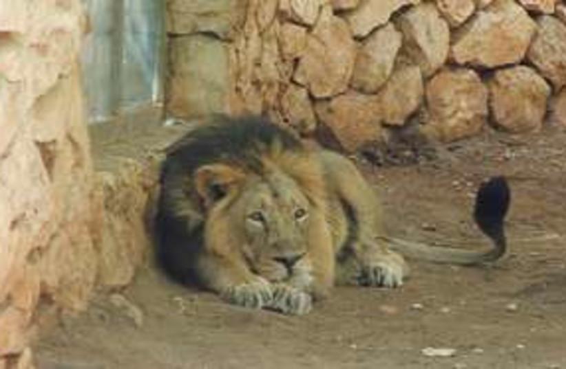 Liom at zoo 311 (photo credit: STUART WINER)