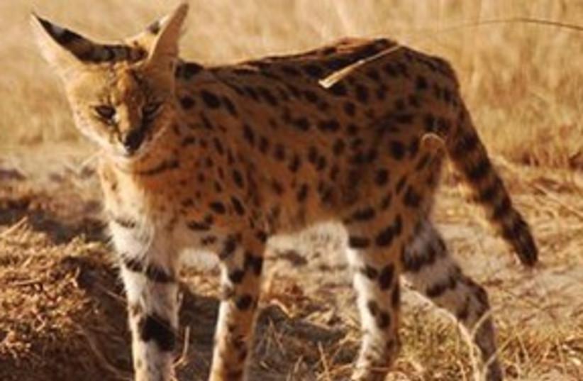 Safari 311 (photo credit: Irving Spitz)