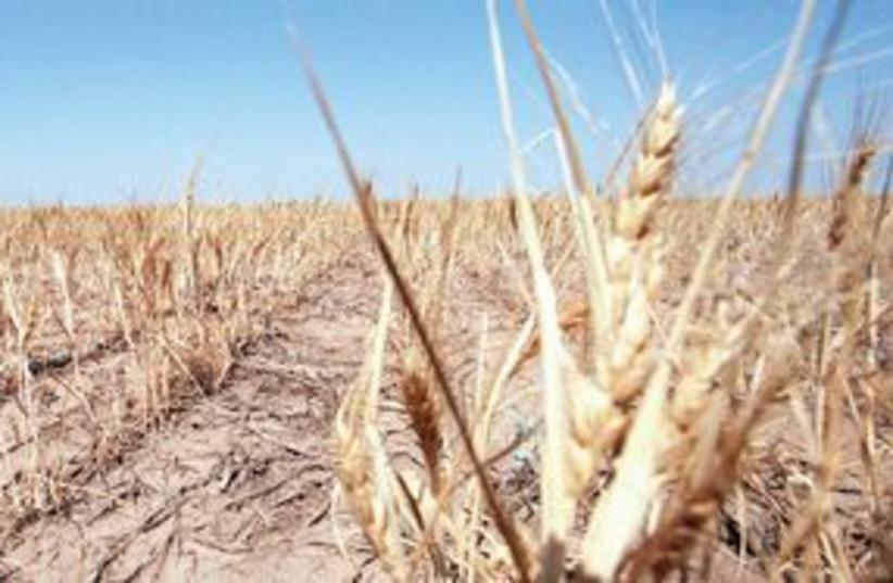 311_wheat field (photo credit: KRT)