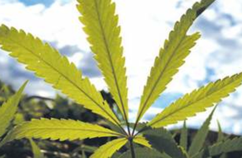 Maijuana 311 (photo credit: Courtesy)