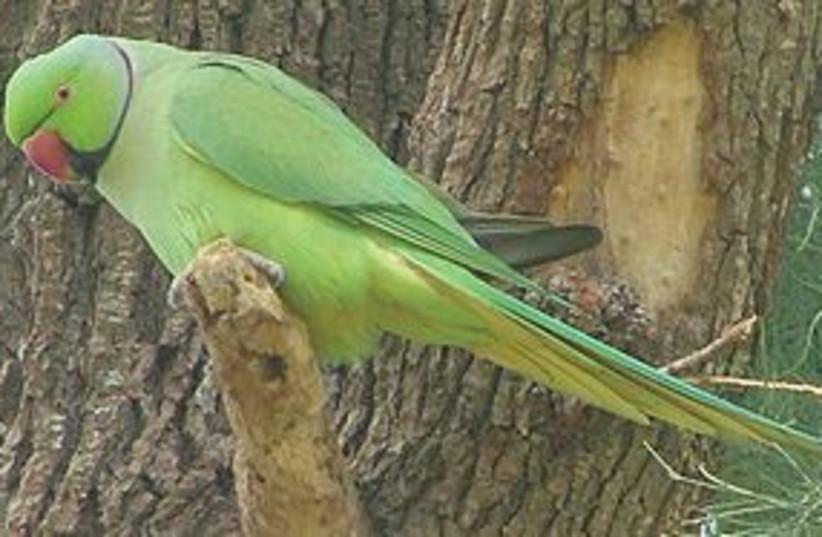 ring necked parakeet 311 (photo credit: Courtesy)
