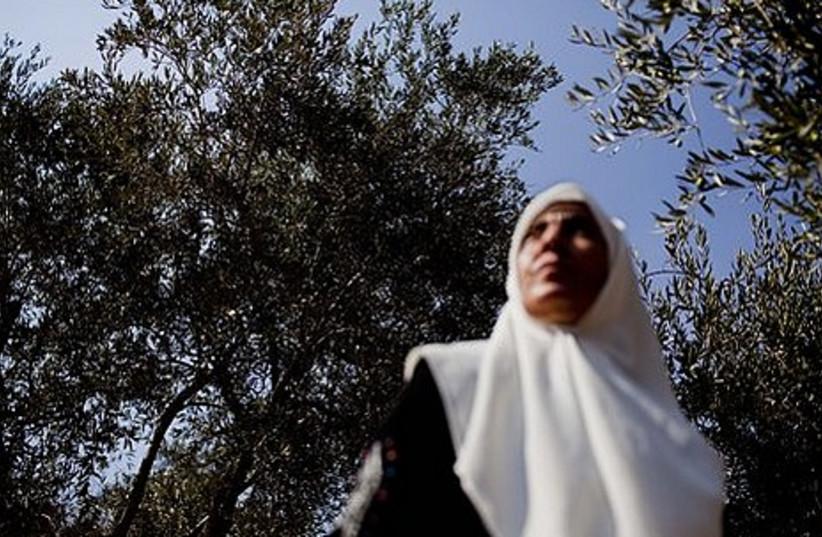 The 2010 olive harvest