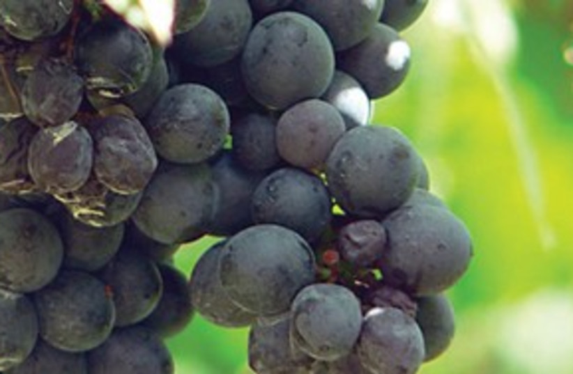 grape vine 311 (photo credit: Courtesy)