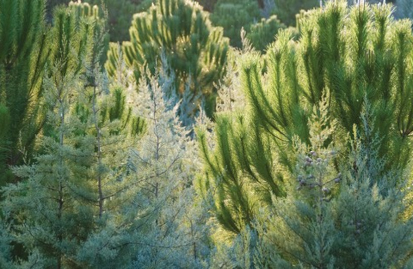 Forest 521 (photo credit: Yehoshua Halevi)
