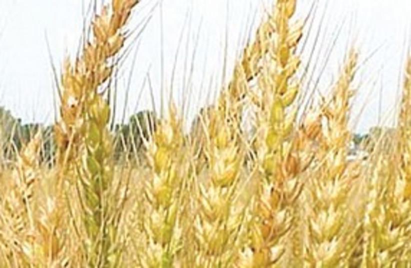 Wheat 311 (photo credit: Courtesy)