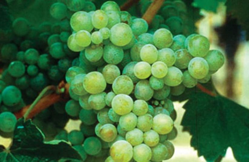 Grapes 521 (photo credit: Courtesy)