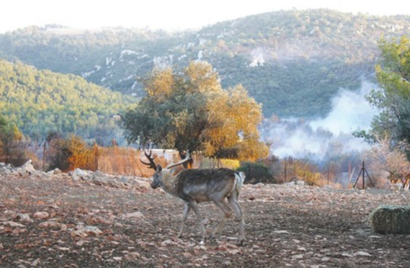 Deer surveys damage from Carmel fire 521 (photo credit: Ben Hartman)