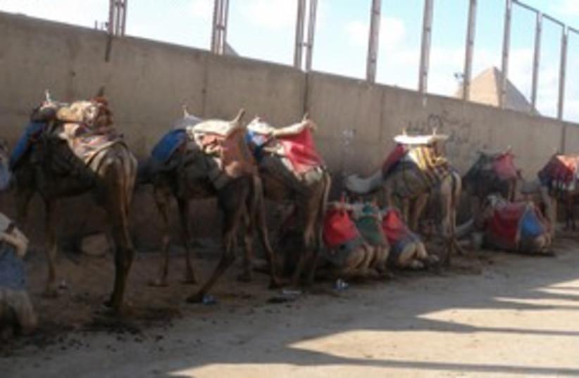Camels Pyramid Egypt 311 (photo credit: MELANIE LIDMAN)