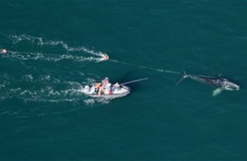 whales 311 (photo credit: AP Photo/Florida Fish and Wildlife Conservation Co)