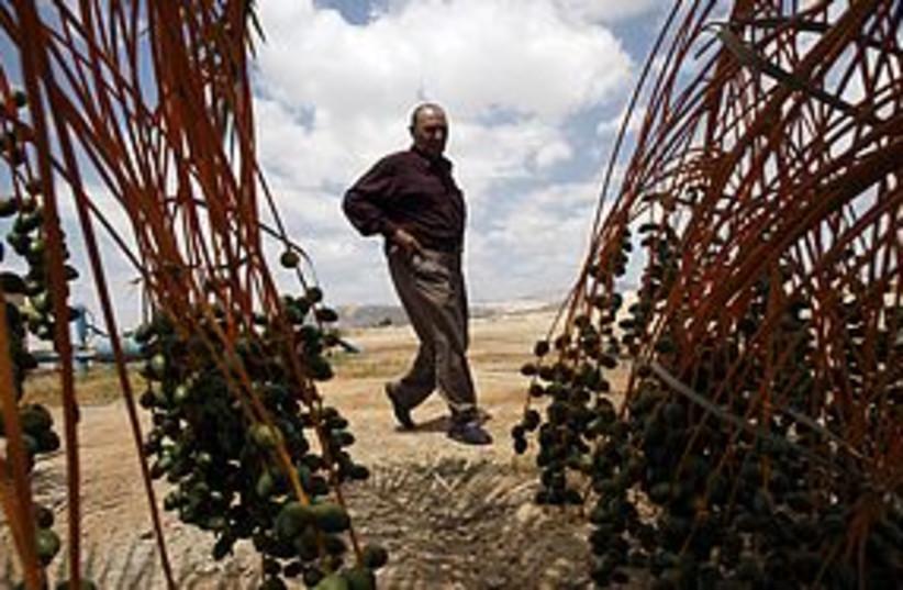 palestinian date farmer 311 REUTERS (photo credit: REUTERS)