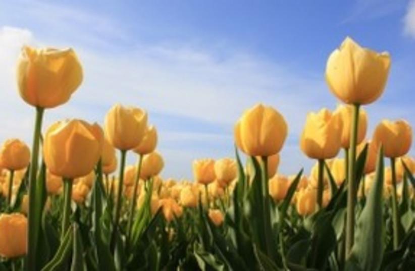 Tulips 311 (photo credit: Courtesy)