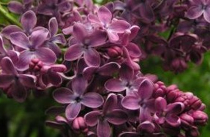 Lilacs 311 (photo credit: Courtesy)