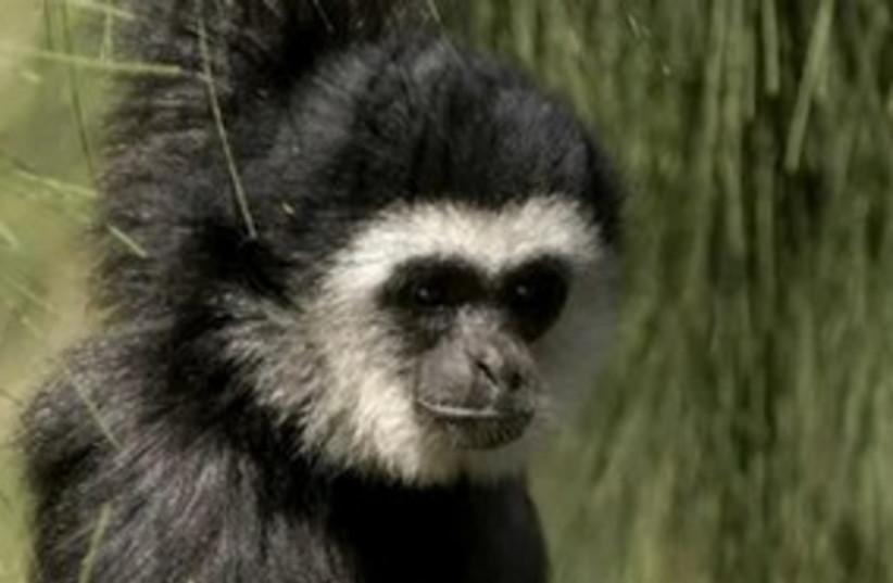 Lar Gibbon (photo credit: Safari Park Ramat Gan)