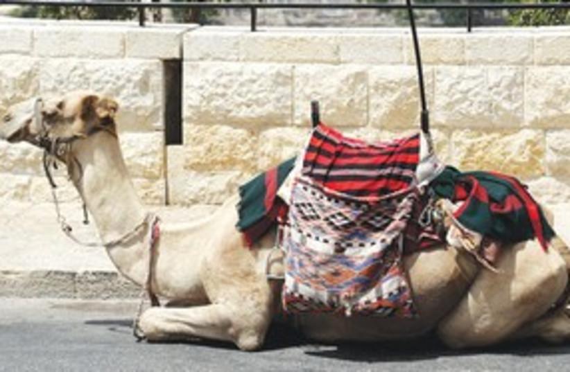 Kojak the camel Jerusalem 311 (photo credit: Marc Israel Sellem/The Jerusalem Post)