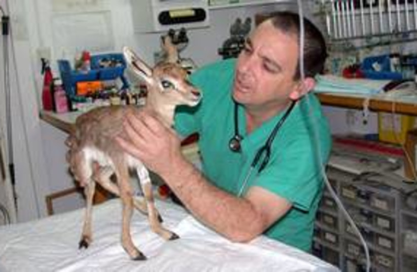 Flying veterinarian deer bambi fawn 311 (photo credit: www.terminal4pets.co.il)