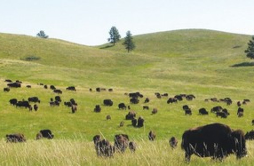 Buffalo in South Dakota's Black Hills 311 (photo credit: James Eli Shiffer/MCT)