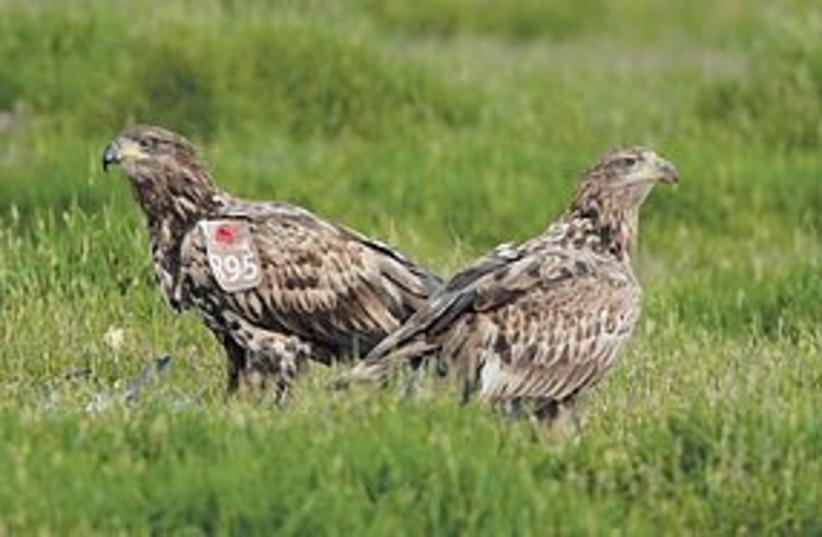 eagles 311 (photo credit: Thomas Krumenacker)