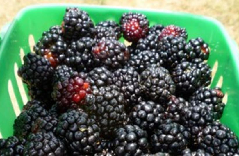 blackberries 311 (photo credit: Courtesy)