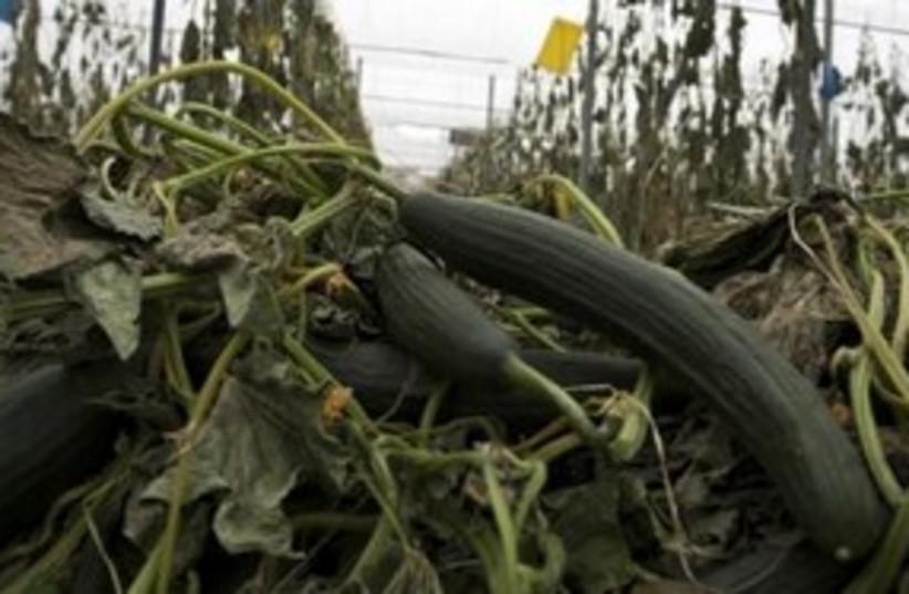 Cucumber 311 (photo credit: REUTERS)
