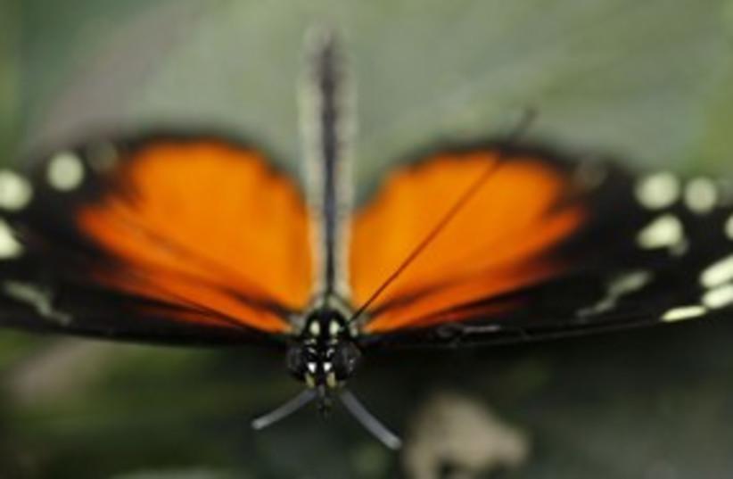 butterfly_311 reuters (photo credit: Juan Carlos Ulate / Reuters)