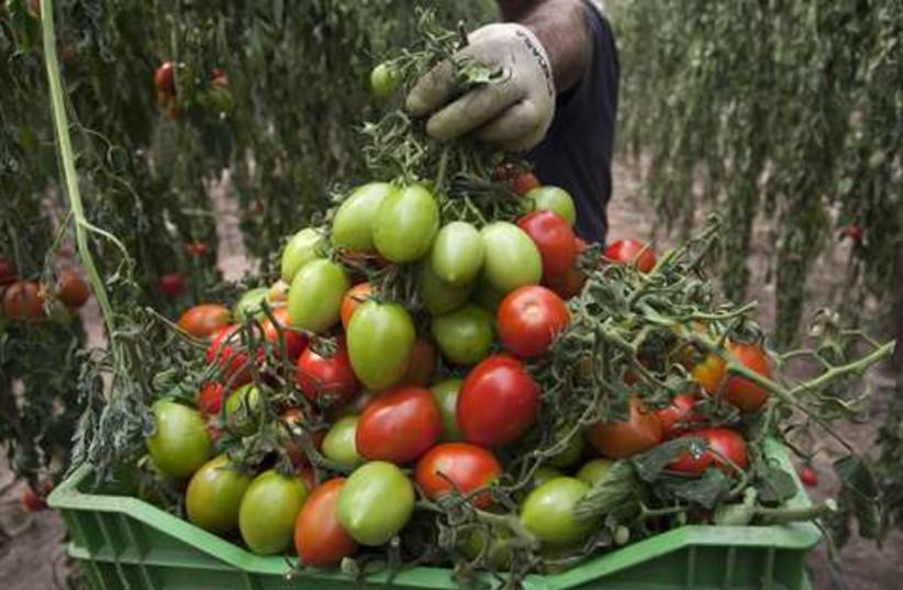 Spain tomatoes 521 (photo credit: REUTERS/Francisco Bonilla)