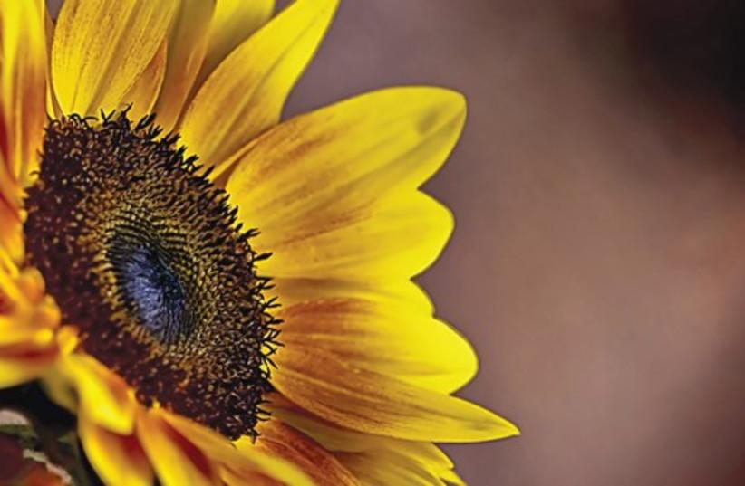 Sunflower 521 (photo credit: Israel Weiss (weisssi@bezeqint.net))