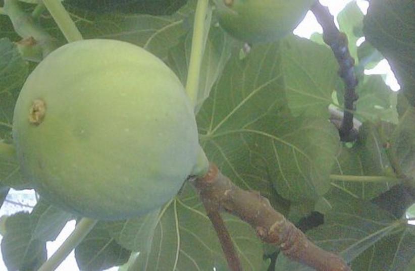 fig tree 521 (photo credit: courtesy)