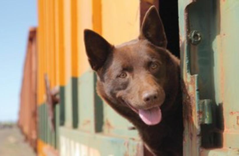 Red Dog 311 (photo credit: David Darcey)