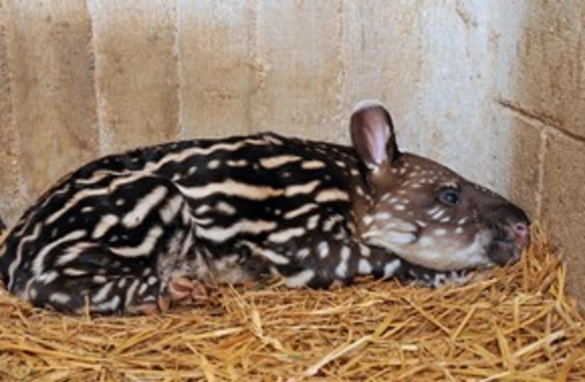 Tapir animal 311 (photo credit: Tibor Yeger )