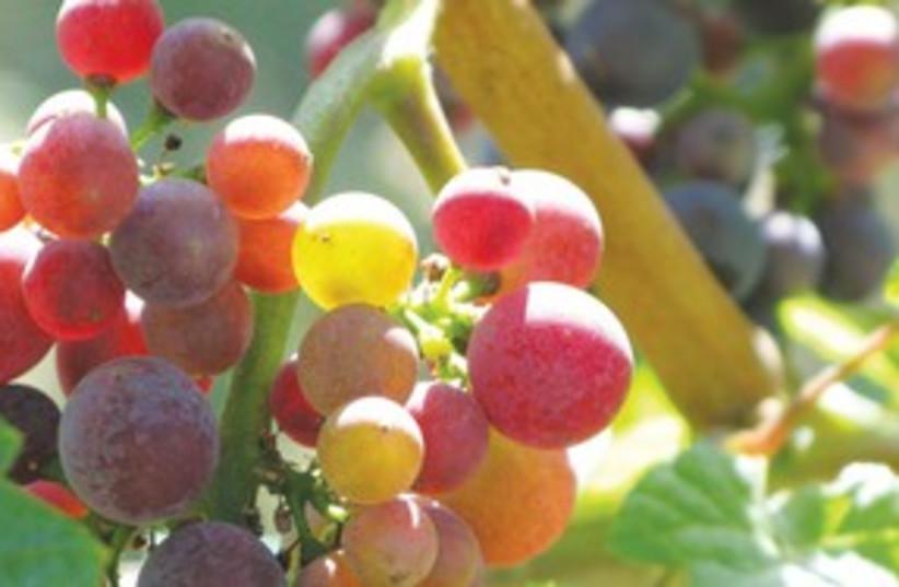 grapes311 (photo credit: MCT)