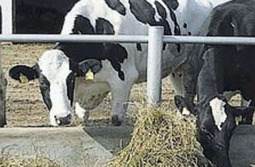 Cows 224.88 (photo credit: Courtesy)
