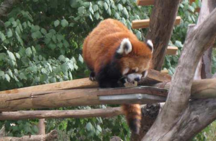 A rare glimpse of the red panda. (photo credit: Liat Collins)