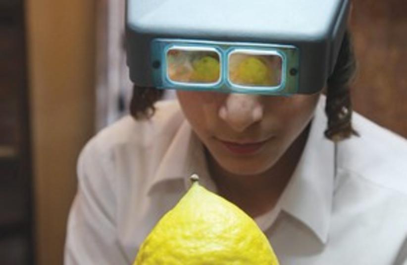 Haredi inspects citrus 311 (photo credit: Marc Israel Sellem)
