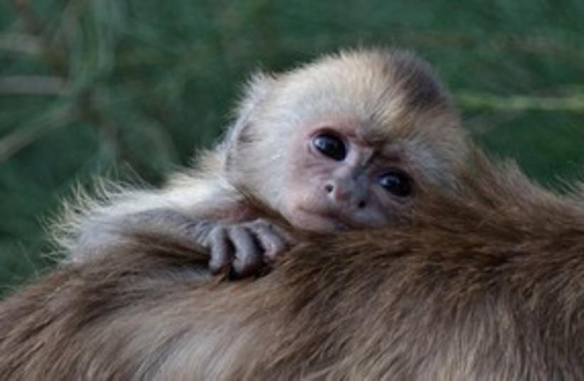Monkey 311 (photo credit: Tibor Jager)
