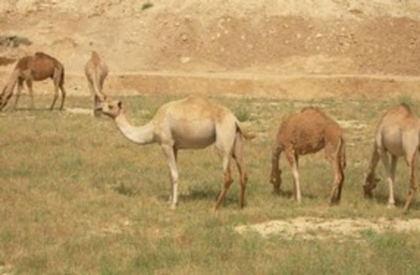 Negev animals 311 (photo credit: Joe Yudin)