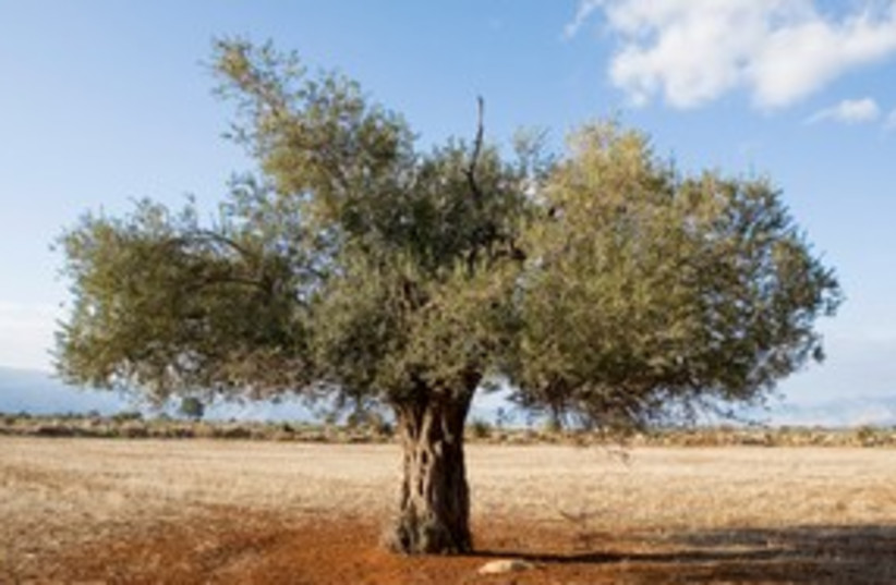 Olive tree 311  (photo credit: Thinkstock/Imagebank)