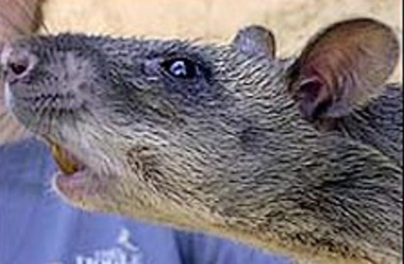 Rat 224.88 (photo credit: AP)