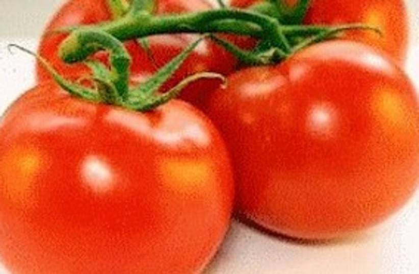 Tomatoes 311 (photo credit: Courtesy)