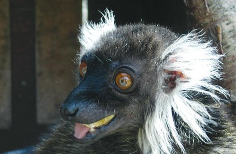 Female lemur 521 (photo credit: Courtesy of the Biblical Zoo)