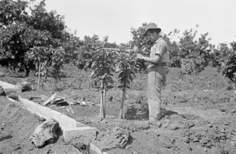 Jewish farmer from Rishon Lezion  pruning an orange tree 390 (photo credit: American Colony-Jerusalem-Photo Dept.)