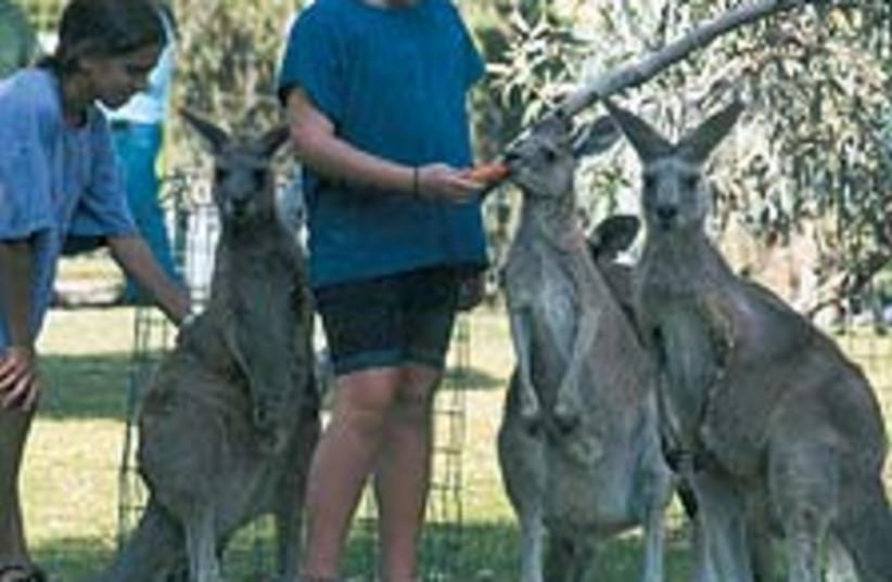 kangaroo feat 88 224 (photo credit: Courtesy)