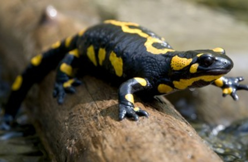 Salamander 390 (photo credit: Thinkstock/Imagebank)