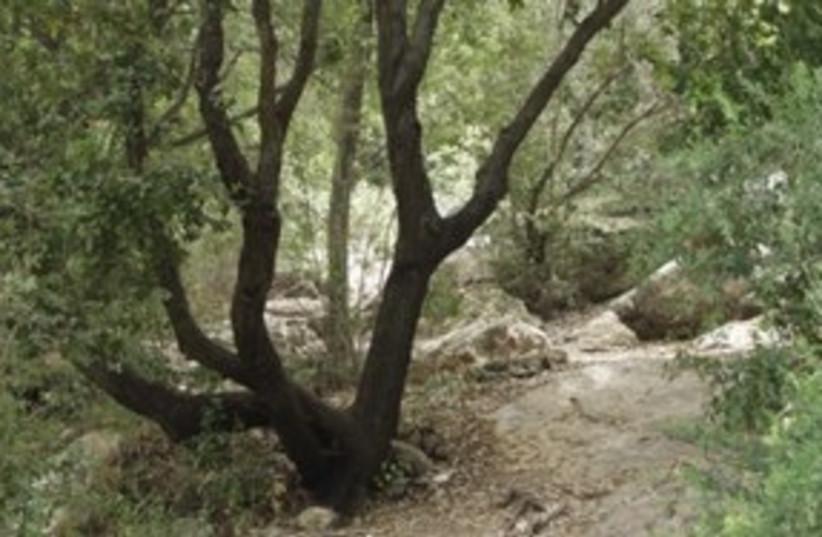 Oak tree in Galilee  (photo credit: Thinkstock/Imagebank)