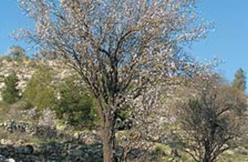 tree image 88 224 (photo credit: Ofer Zemach)