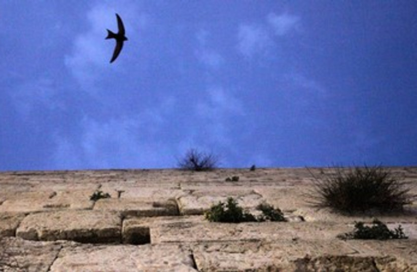 Swifts bird at Western Wall 370 (photo credit: Marc Israel Sellem)